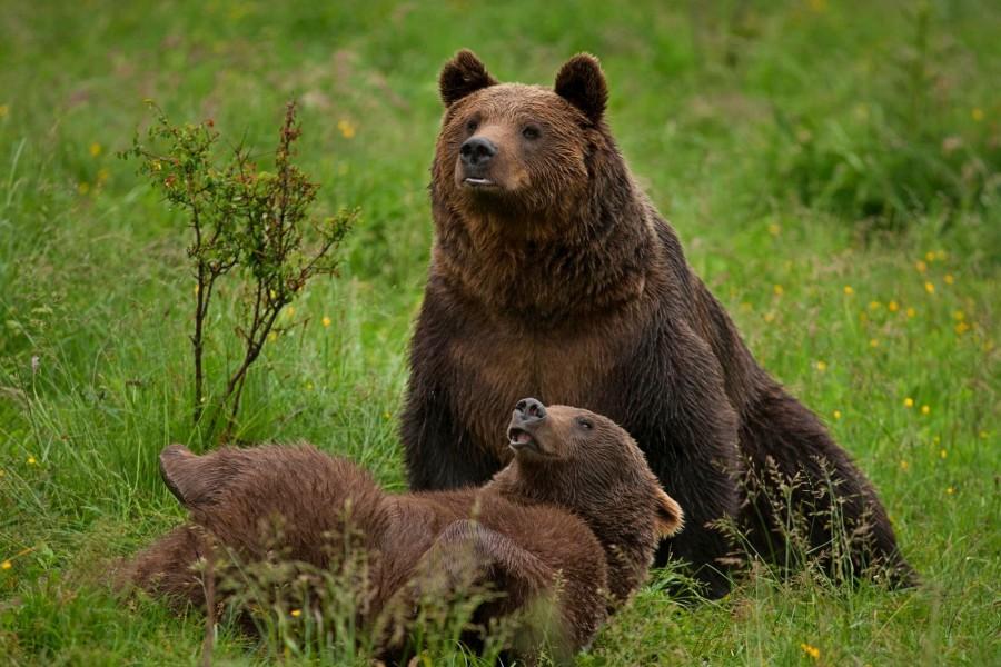 Un nou sanctuar pentru urși, la Brașov. Proiectul va fi depus în cursul acestei luni